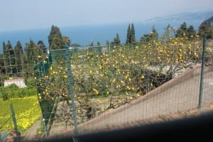 Un huerto claro donde madura el limonero